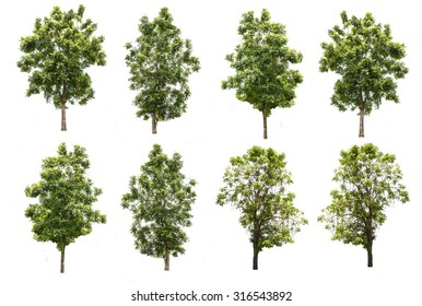 set of eight green trees isolated on white background with clipping path, tropical trees isolated used for design, advertising and architecture