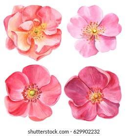 Set of elements, pink roses, dog rose, botanical illustration watercolor