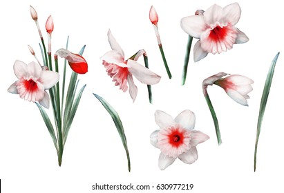set of elements watercolor flowers. floral illustration -  narcissus. branch of flowers isolated on white background. collection Leaf and buds. Cute composition for wedding or  greeting card
