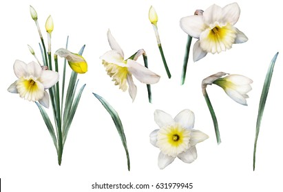 set of elements watercolor flowers. floral illustration - yellow narcissus. branch of flowers isolated on white background. collection Leaf and buds. Cute composition for wedding or  greeting card