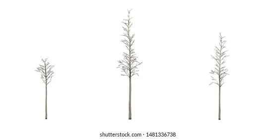Set of European Aspen trees in the winter - isolated on white background - 3D illustration