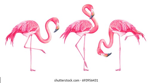 Set of exotic flamingos isolated on white background. Hand drawn watercolor illustration.