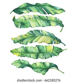 Set exotic tropical banana green and yellow leaves.Watercolor hand drawn painting illustration, on white background.
