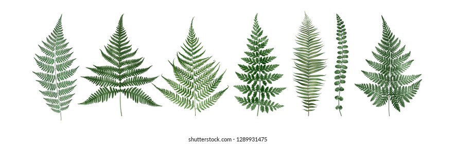 Set of fern leaves isolated on white background. Watercolor botanical illustration.