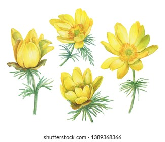 Set of first spring wildflower yellow Adonis vernalis (also known as pheasant's eye and false hellebore). Hand drawn watercolor painting illustration isolated on white background.