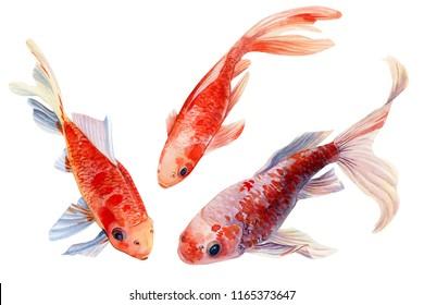 set of fish, orange koi, on white background, watercolor illustration, hand drawing