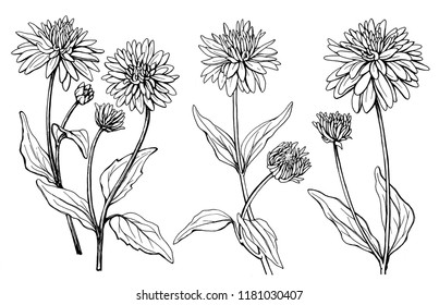 Set with flower of garden plant rudbeckia laciniata (also known as cutleaf coneflower, green-headed, susan). Black and white outline illustration hand drawn work isolated on white background.