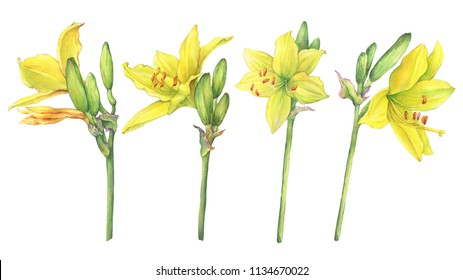 Set of flower Hemerocallis lilioasphodelus (also called Lemon Lily, Yellow Daylily, Custard Lily, Hemerocallis flava). Watercolor hand drawn painting illustration isolated on a white background.