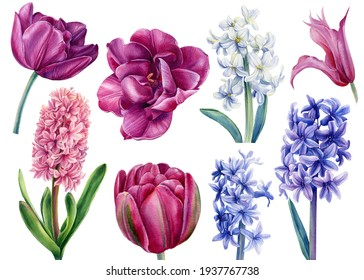 Set flowers hyacinths, clematis, tulips on a white background, watercolor illustration, botanical painting