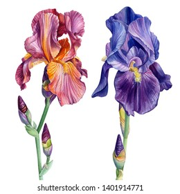 set of flowers irises, roses and lilac on an isolated white background, watercolor painting, botanical illustration