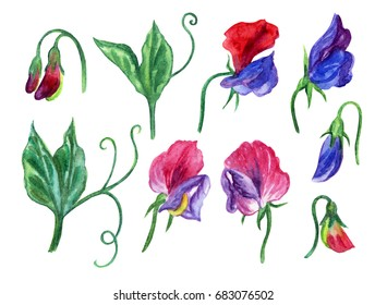 Set of flowers and leaves of sweet pea, watercolor drawing on white background, isolated with clipping path.