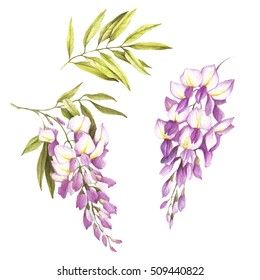 Set of flowers and leaves of wisteria. Hand draw watercolor illustration.