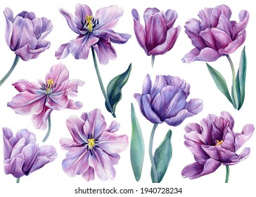 Set of flowers on an isolated white background. Watercolor illustrations. Purple tulips