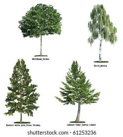 set of four trees isolated against pure white, Whitebeam, Birch, Eastern white pine, lebanon cedar