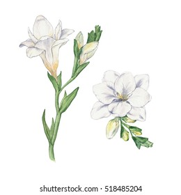 Set Freesia. Flowers. Watercolor handmade drawing. Isolated on white