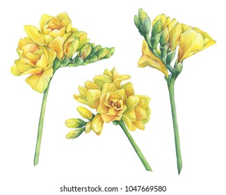 Set of fresh branches yellow freesia Serrada flowers with buds. Hand drawn watercolor painting illustration isolated on white background.