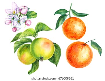 Set of fruits, apples and oranges, blossoming apple-tree, watercolor illustration