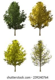 set of ginkgo tree isolated on white background