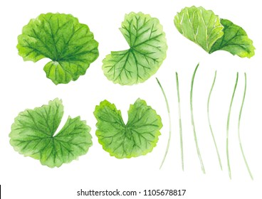 Set of gotu kola leaf watercolor illustration on white background, health care and medical concept