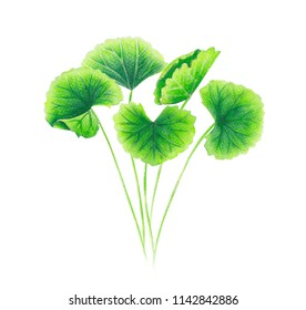 Set of gotu kola leaf watercolor illustration on white background, health care and medical concept