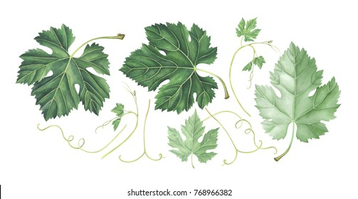Set of grape leaves isolated on white background. Hand drawn watercolor illustration.