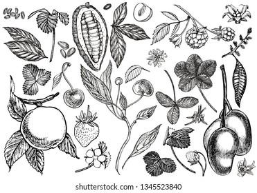 Set of graphic botanical illustration. Mango Fruit, Cacao and Berries strawberry, raspberry, apple, cherry isolated on white background.