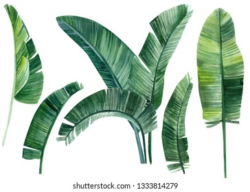 set of green leaves of banana palm trees on an isolated white background, watercolor illustration, leaves of tropical trees, greeting card