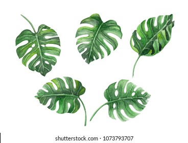 Set of Green monstera tropical leaves watercolor illustration, isolated on white background