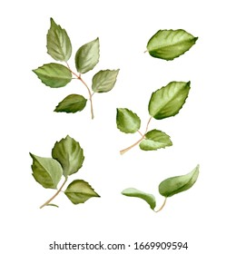 Set of green roses leaves isolated on white background. watercolor illustration
