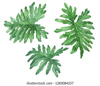 Set green tropical jungle leaves of philodendron (also known Philodendron bipinnatifidum, Selloum, horsehead). Hand drawn watercolor painting illustration isolated on white background.