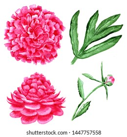 Set of hand drawn flowers, bud and leaf of peony on white background.