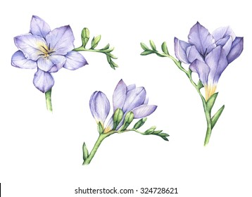 Set of hand drawn purple freesia flowers in watercolor. Design element for wedding invitations, cards, etc
