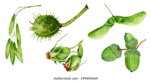 Set of hand drawn watercolor botanical illustrations of horse chestnut, rose hip, acorns, ash and maple seeds, isolated on white background.