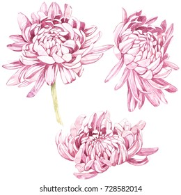 Set of hand drawn watercolor botanical illustration of Flowers Chrysanthemums. Element for design of invitations, movie posters, fabrics and other objects. Isolated on white.
