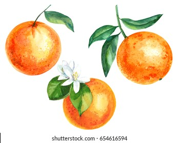 Set of hand drawn watercolor mandarins and oranges fruit
