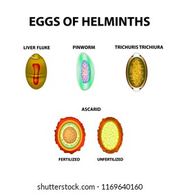 Set helminth eggs. Eggs are eggs. Hepatic fluke, hepatic trematode, ascaris, pinworm. Trichuris trichiura. Infographics. illustration on isolated background.