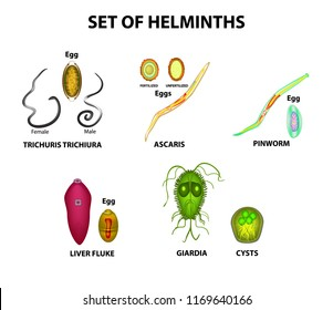 Set of helminths and their eggs. Worms. Hepatic fluke, hepatic trematode, ascaris, pinworm, lamblia, cyst of lamblia. Trichuris trichiura. Infographics. illustration on isolated background.