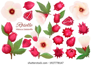 Set with Hibiscus Sabdariffa or Roselle flowers, leaves and berries, seeds. Graphic hand drawn crayons style. Botanical illustration for packaging, menu cards, posters, prints.