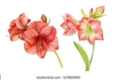 Set of Hippeastrum flowers . Watercolor illustration. Hippeastrum flowers are pink red and dark red with buds and on a white background.