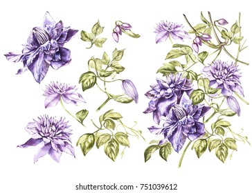 Set Illustration in watercolor of a clematis flower blossom. Floral card with flowers. Botanical illustration