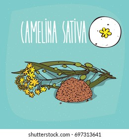Set of isolated plant Camelina sativa flowers herb with leaves, seeds, Simple round icon of False flax on white background, Lettering inscription Camelina sativa. Raster version of illustration