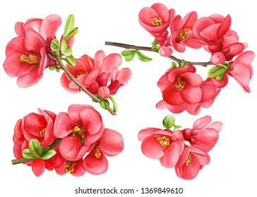 set japan quince flowers on an isolated white background, watercolor hand drawing, botanical painting