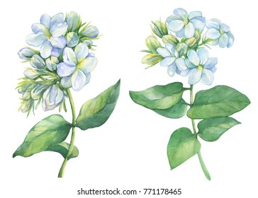 Set of Jasmine plant (Jasminum sambac) with flowers and leaves. Watercolor hand drawn painting illustration isolated on white background. For card, wedding invitation, poster.