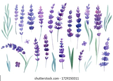 set of lavender flowers on an isolated white background, watercolor illustration, hand drawing