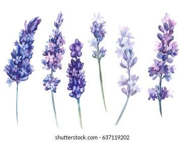Set of lavender flowers on isolated white background, watercolor