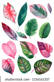 set of leaves on isolated white background, watercolor illustration, pink and green leaves of tropical plants, rose-painted calathea, Caladium Plants