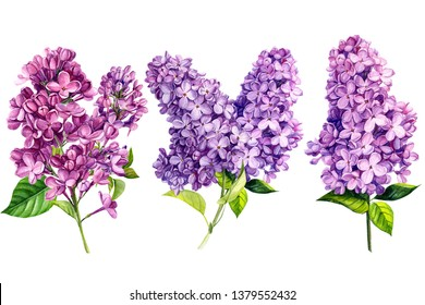 set of lilac flowers on white isolated background, watercolor painting, hand-drawing black, invitation