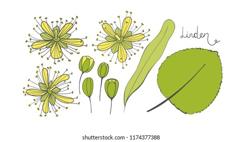 A set of linden. Isolated elements of the Tilia. Leaves, flowers and buds of basswood. limetree or lime tree