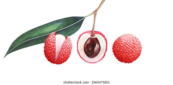 Set of lychee fruits isolated on white background. Watercolor hand drawn illustration.