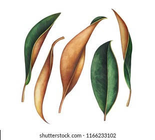 Set of magnolia leaves isolated on white background. Hand drawn watercolor illustration.